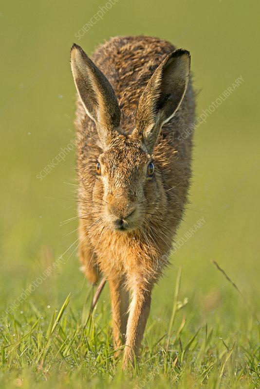 European Hare running, Wales, UK, July