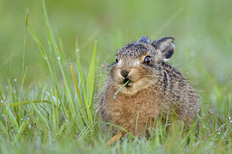 European Hare leveret feeding on grass, Wales, UK, May