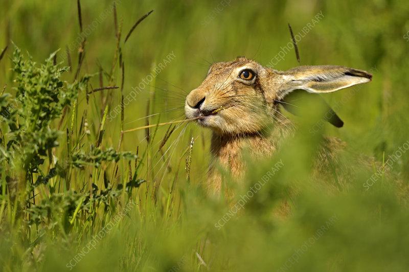 European Hare feeding on grass