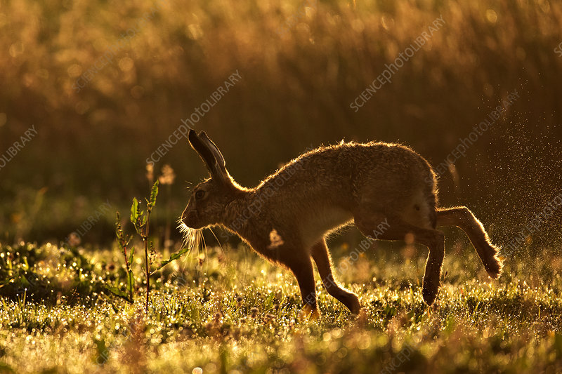 European Hare silhouetted at dawn