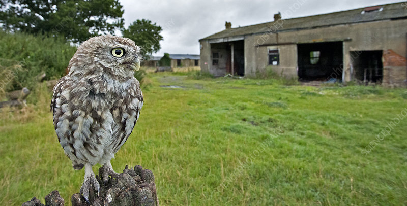 Little Owl perched on post