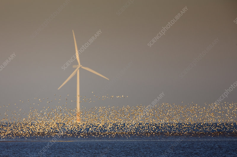 Flock of Knot over sea with wind turbine