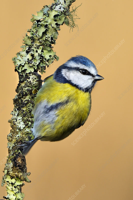 Blue Tit perched on lichen-covered twig
