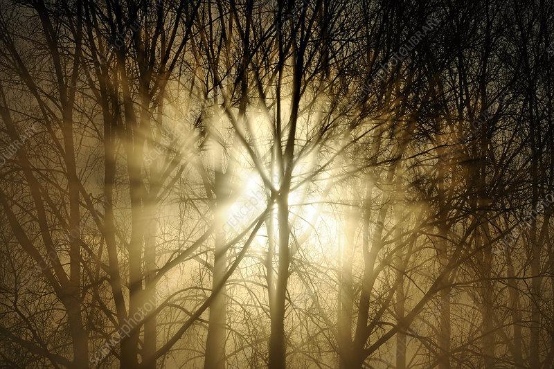 Sunrise breaking through misty woodland