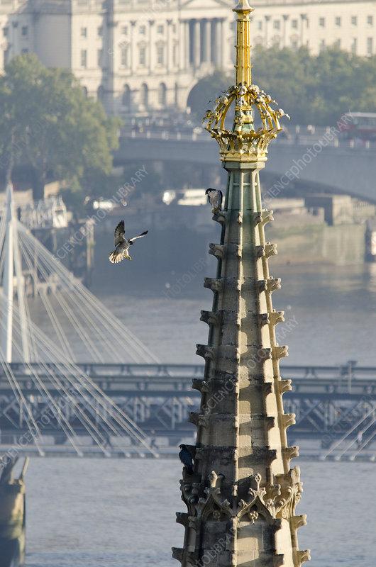 Juvenile Peregrine Falcon, Houses of Parliament, London, UK
