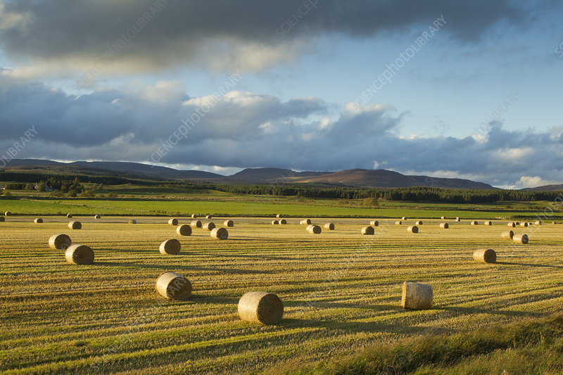 Barley straw bales in field after harvest
