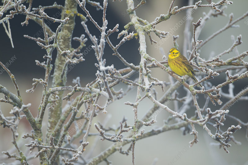 Yellowhammer male perched in frost, Scotland, UK, December