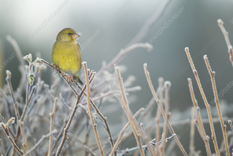 Greenfinch male perched in hedgerow in frost, Scotland, UK