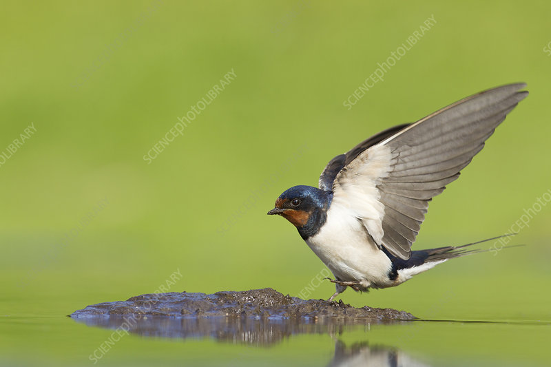 Barn swallow collecting mud for nest building