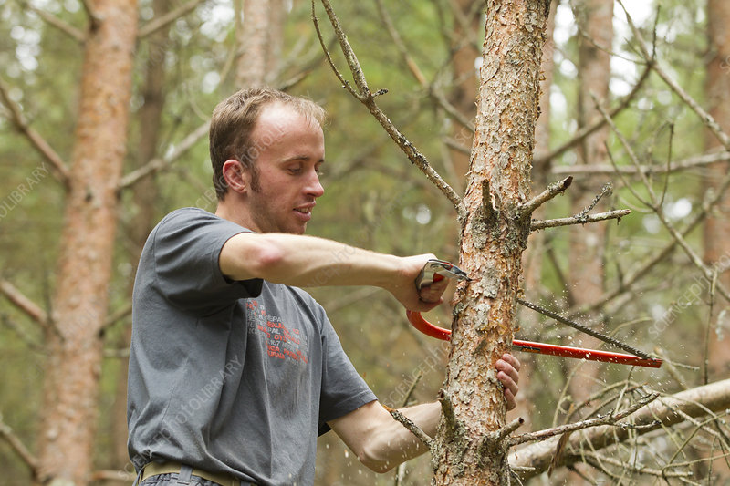 RSPB staff warden hand sawing pine tree