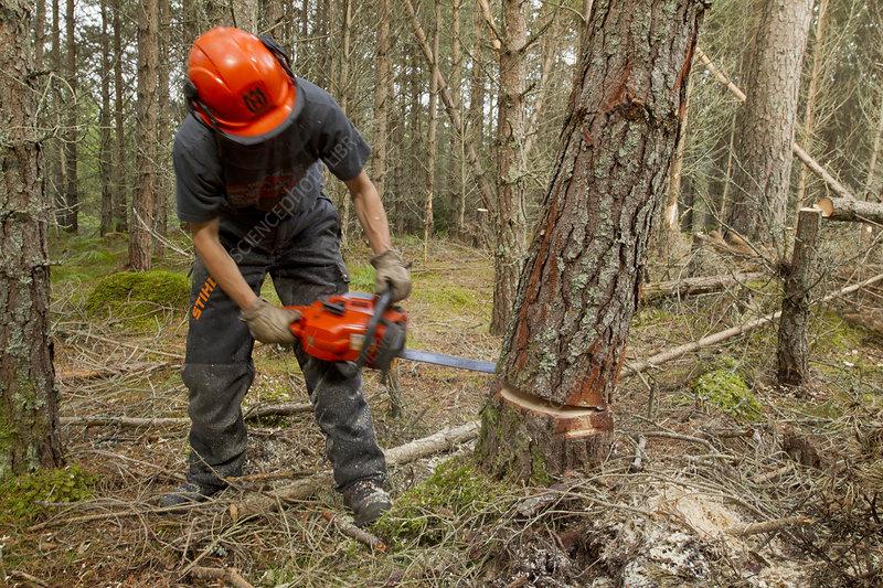 RSPB staff felling pine trees in plantation
