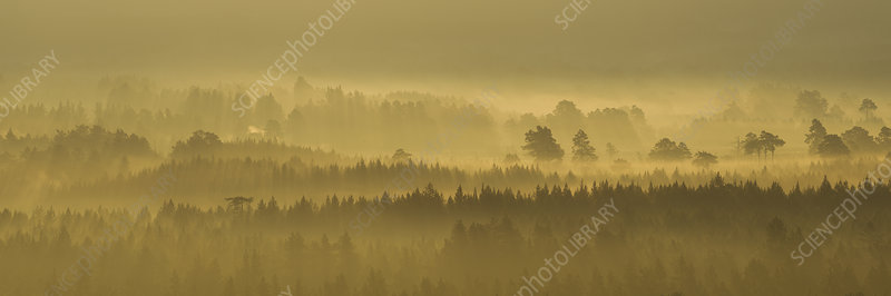 Pine forest on misty autumn morning