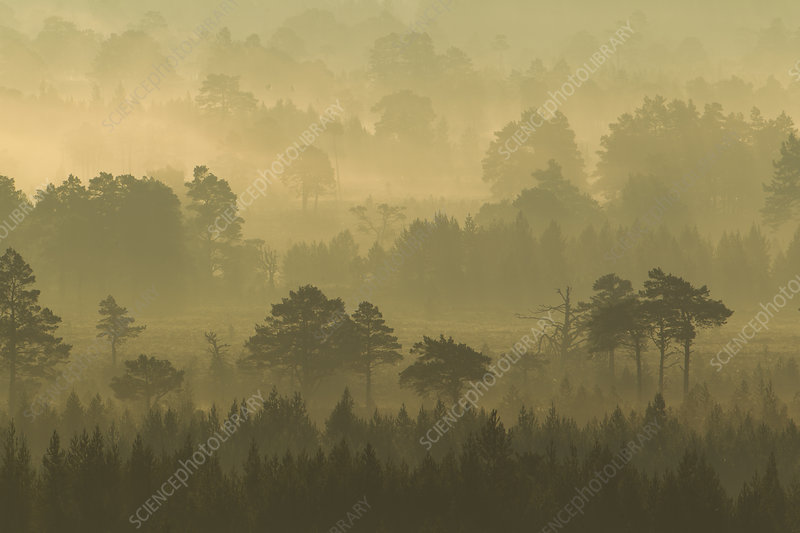 Scots Pine forest on misty autumn morning