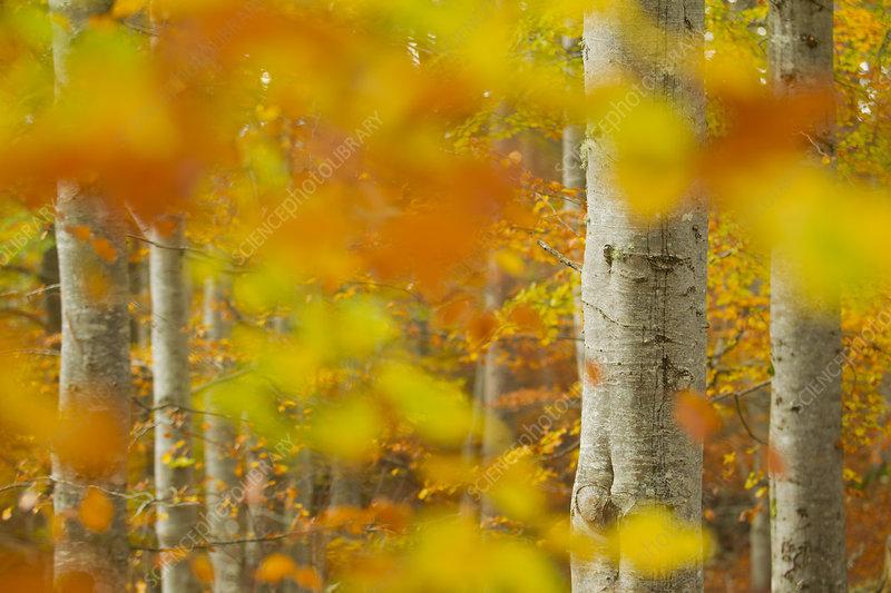 Common beech (Fagus sylvatica) woodland in autumn