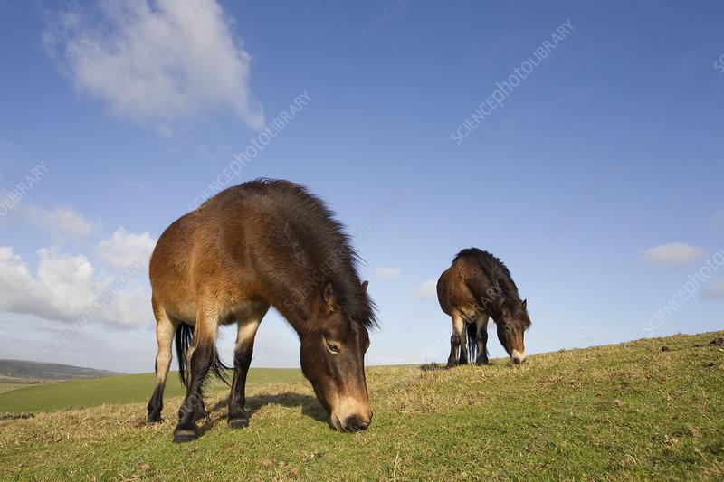 Exmoor Ponies grazing