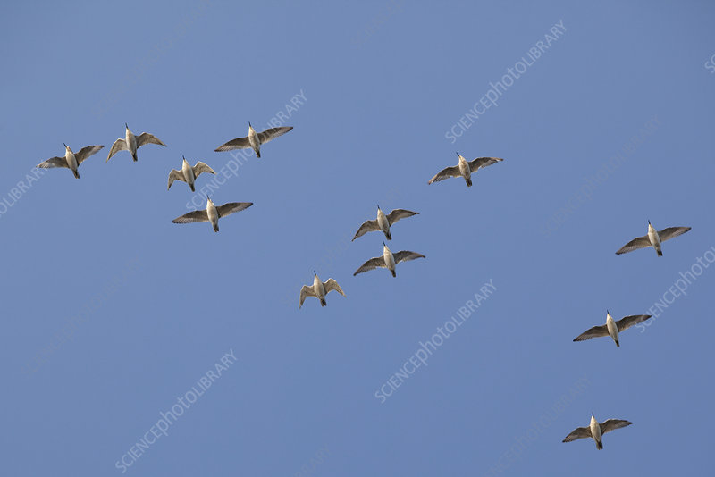 Flock of Knot in flight