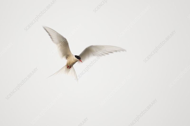 Arctic Tern in flight, Shetland, Scotland, August