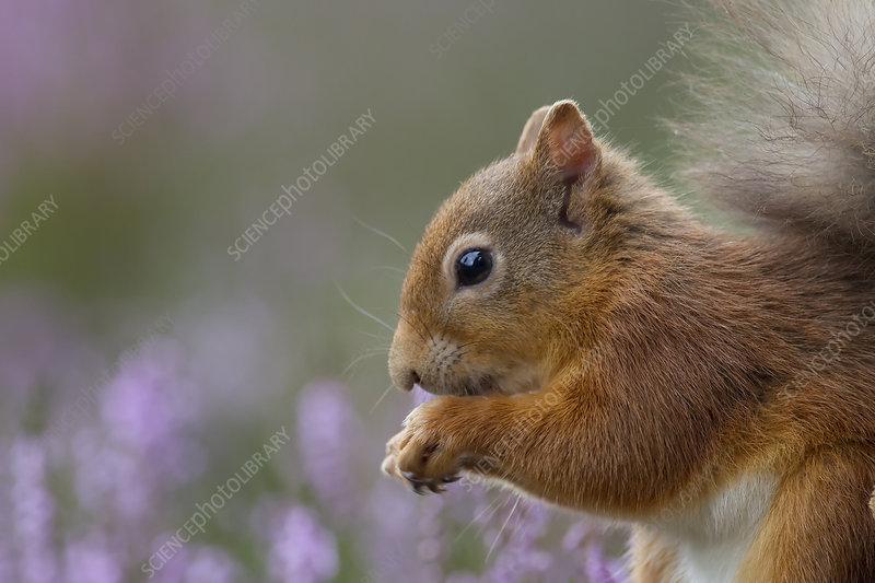 Red Squirrel in flowering heather