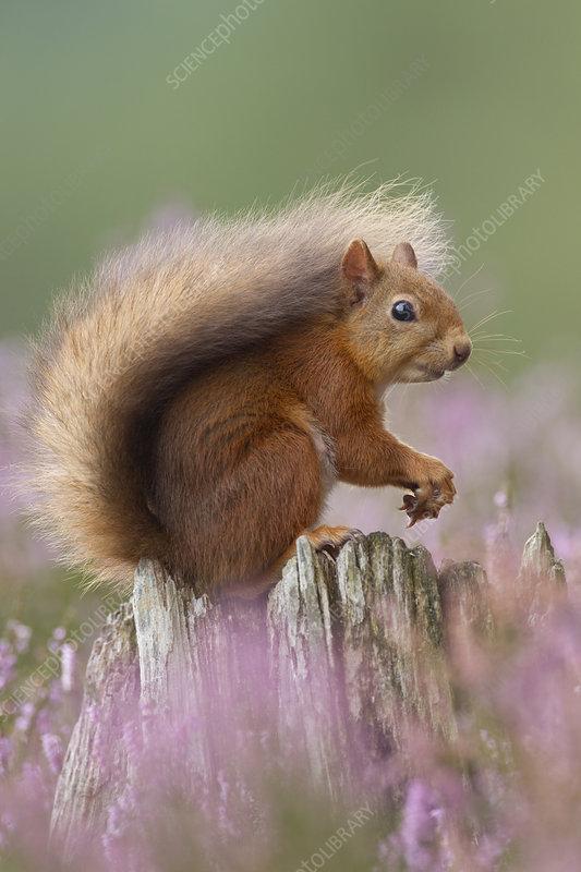 Red Squirrel portrait on stump in flowering heather