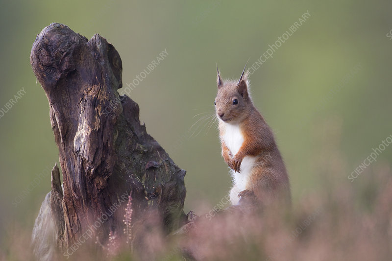 Red Squirrel in pine forest