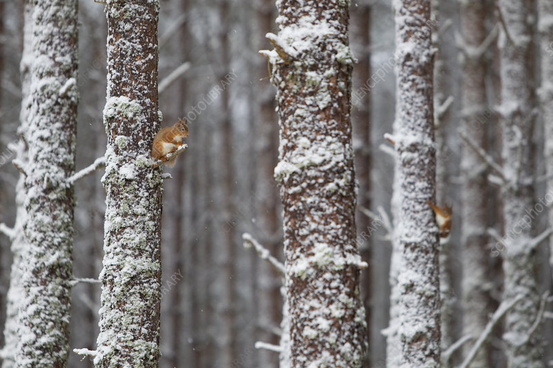 Two Red Squirrels in snowy pine forest