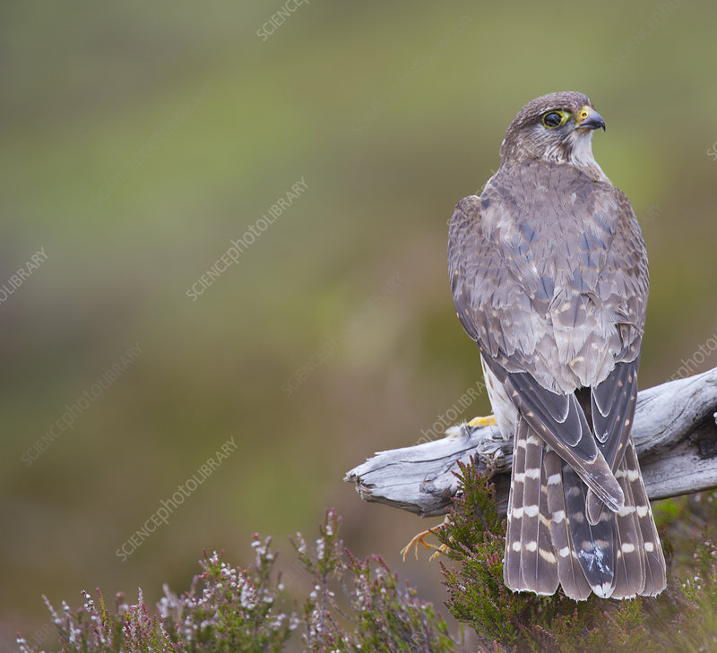 Merlin female on perch with Meadow Pipit chick prey