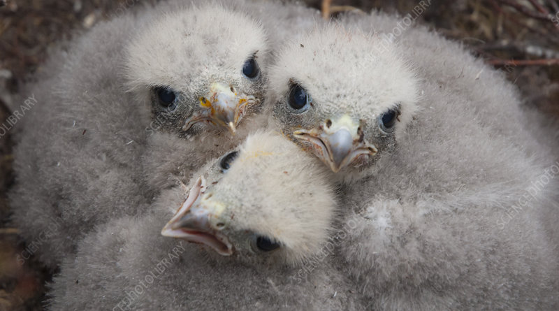 Merlin chicks at nest site, Sutherland, Scotland, June