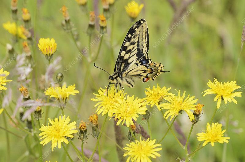 Swallowtail Butterfly on hawkbit flower