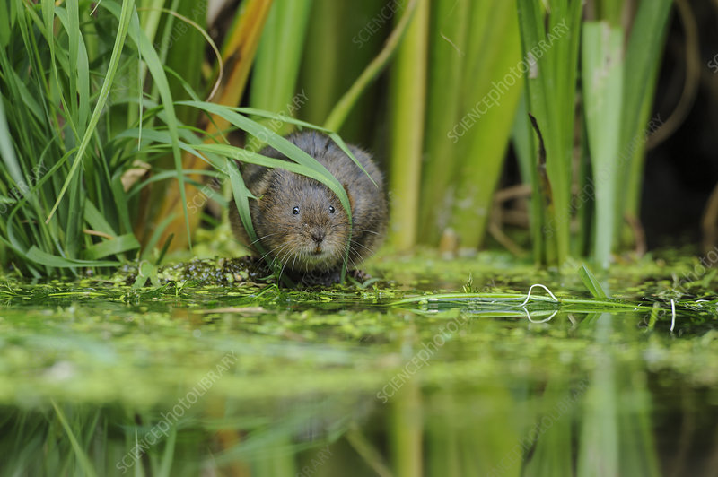 Water Vole foraging by water