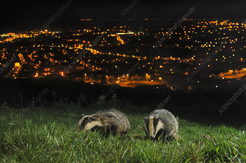 European Badgers adult and juvenile