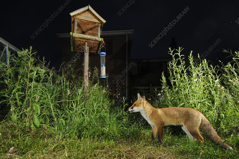 Red fox foraging in town house garden