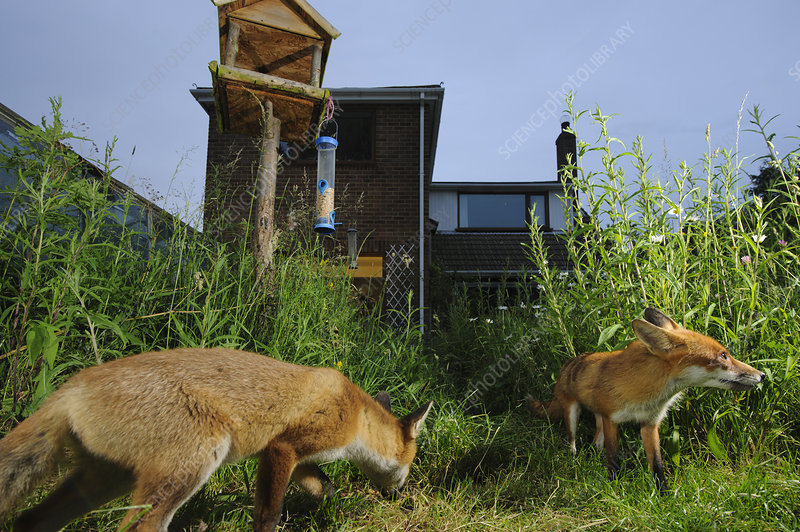 Red foxes foraging in town house garden