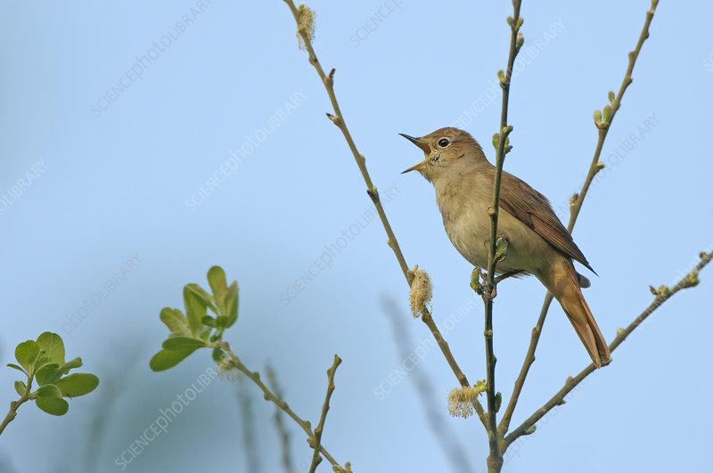 Common nightingale adult