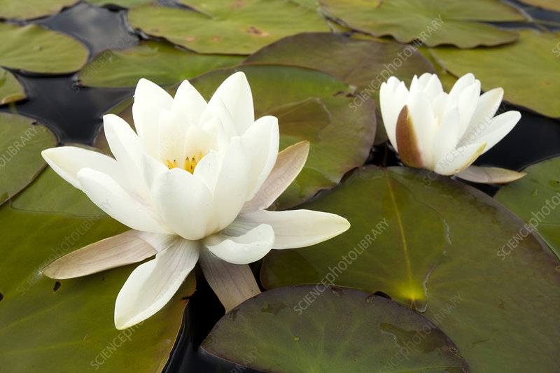White water lily (Nymphaea alba) in flower, Scotland, UK