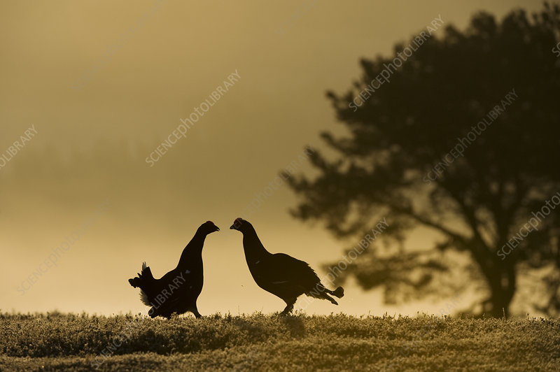 Silhouette of two male Black grouse displaying at lek