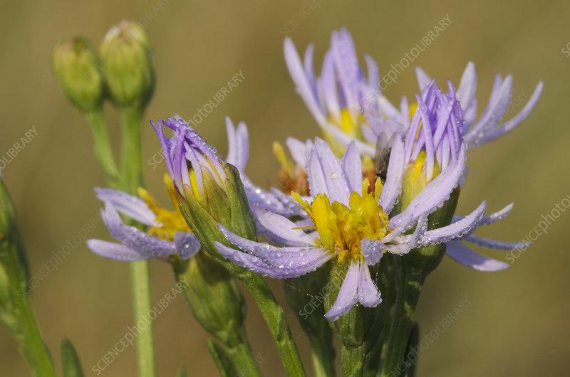 Sea aster (Tripolium pannonicum) in flower