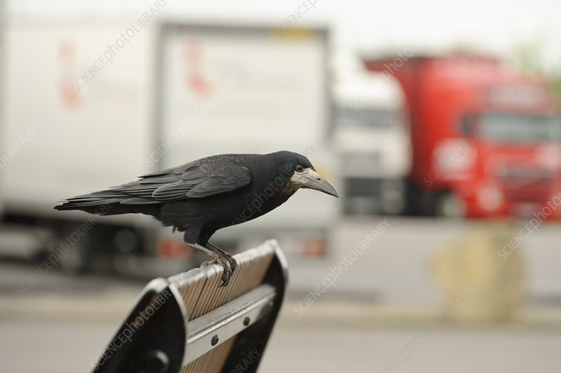 Rook perched in motorway service area, Midlands, England, UK