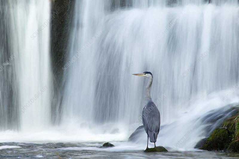 Grey heron beneath waterfall, Ambleside, Lake District, UK