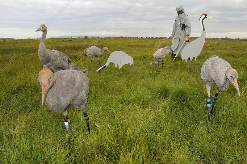Young Eurasian cranes feeding on grain