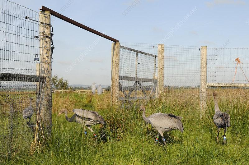 Four young Eurasian cranes following two carers