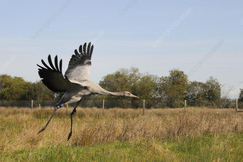 Young Eurasian crane landing within enclosure