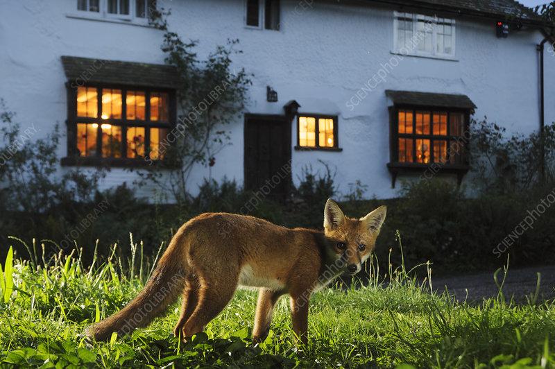 Red fox in suburban garden at night