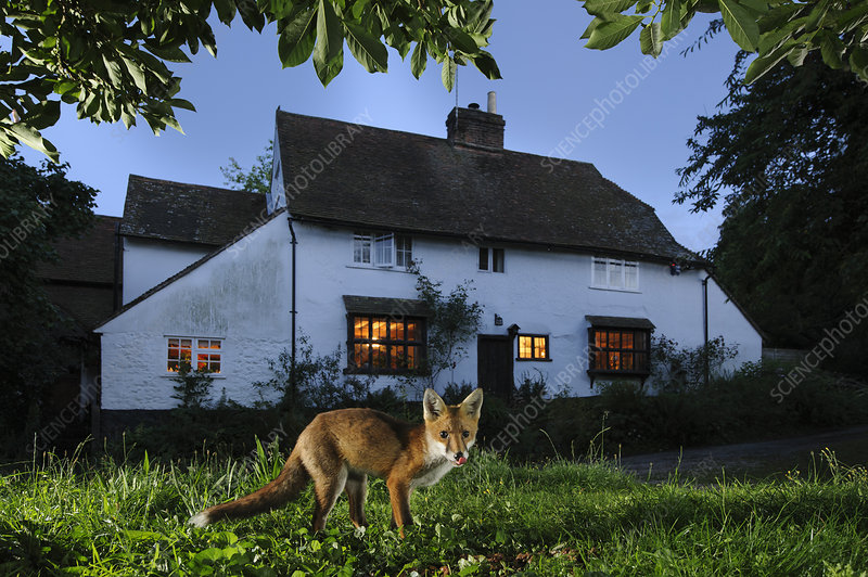 Red fox eating pet food left out for it in suburban garden