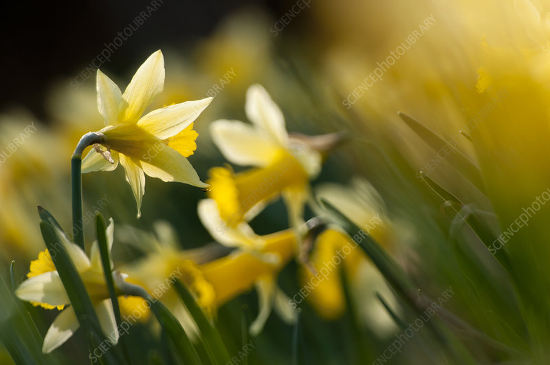 Flowering Wild daffodils (Narcissus pseudonarcissus)