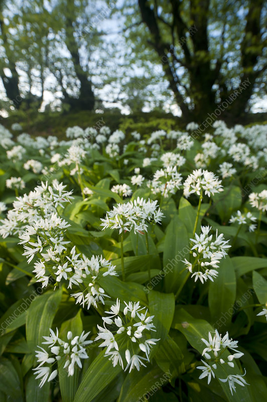 Ramsons (Allium ursinum) flowering in woodland