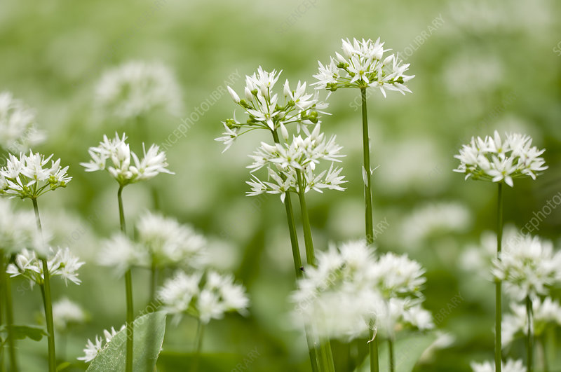 Ramsons (Allium ursinum) flowering in woodland
