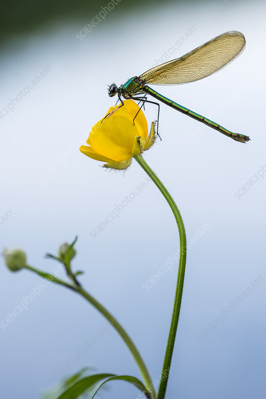 Bannded demoiselle resting on buttercup