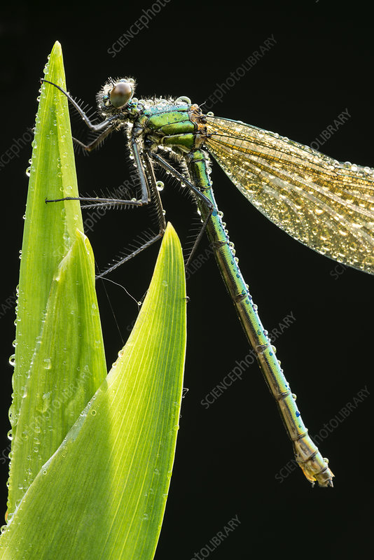 Banded demoiselle resting on reed covered in dew