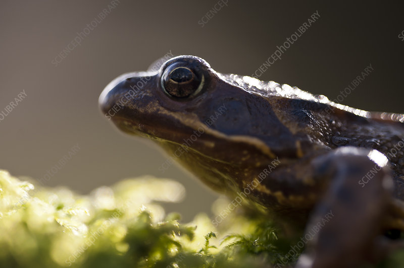 Common frog, backlit portrait, Cornwall, UK, January