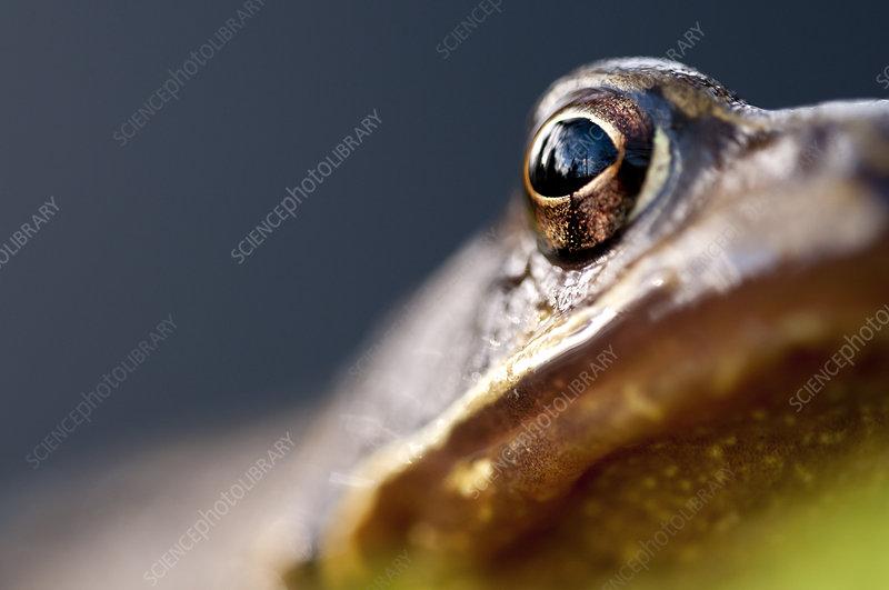 Common frog eye